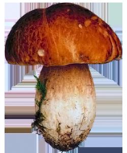 Изображение Белого гриба (Болетуса)