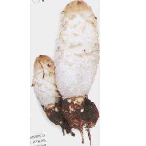 Изображение гриба Навозник Белый (Копринус)