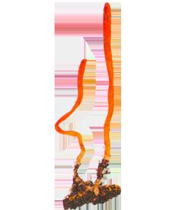 Изображение гриба Кордицепс