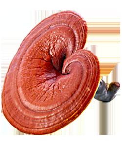 Изображение гриба Рейши