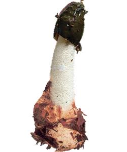 Изображение гриба Веселка Обыкновенная